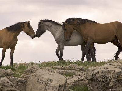 Mustang / Wild Horse Red Dun Stallion Sniffing Mare's Noses, Montana, USA Pryor
