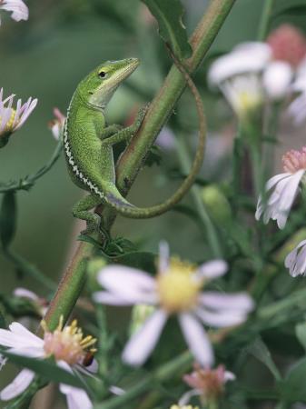 Green Anole, Juvenile, Texas, USA