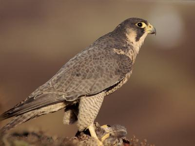 Peregrine Falcon Female (Falco Peregrinus), Subspecies Brookei from Southern Europe