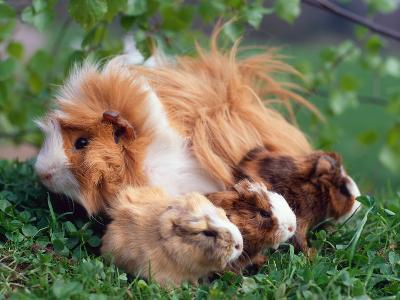Domestic Guinea Pig with Young, Europe
