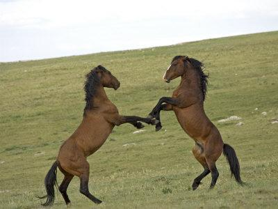 Mustang / Wild Horse, Two Stallions Fighting, Montana, USA Pryor Mountains Hma