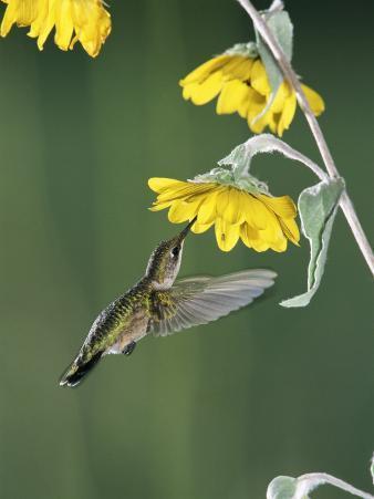Ruby Throated Hummingbird, Female Feeds at Sunflower, Texas, USA