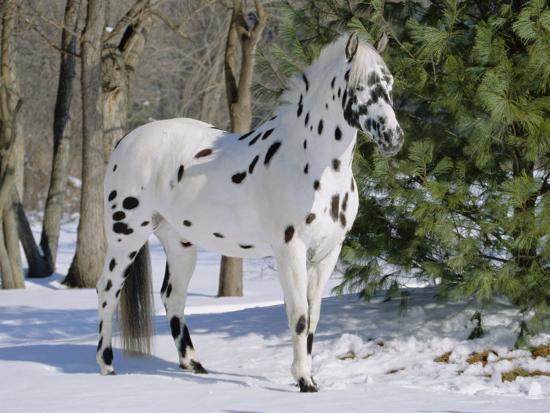 appaloosa horse in snow illinois usa photographic print by lynn m