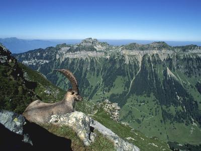 Male Alpine Ibex, View of Sigriswiler Rothorn, Niederhorn, Switzerland