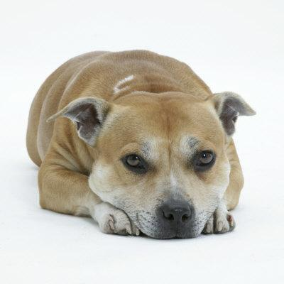 Staffordshire Bull Terrier Bitch Lying Down with Chin on Floor