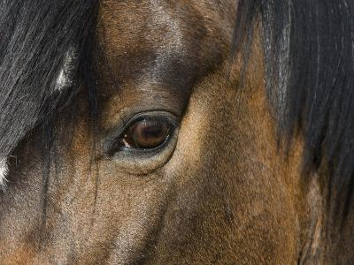 Close Up of Eye of a Paint Mare, Berthoud, Colorado, USA