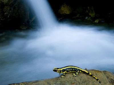 European Salamander on Rock in Stream, Pyrenees, Navarra Region, Spain