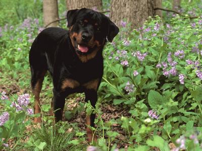 Rottweiler Dog in Woodland, USA