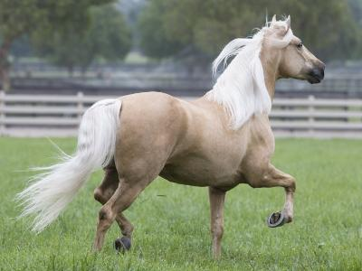 Palomino Andalusian Stallion Trotting in Paddock, Ojai, California, USA