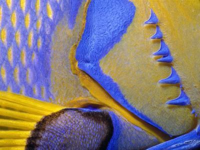 Queen Angelfish Close-Up of Gills and Pectoral Fin, Bahamas, Caribbean