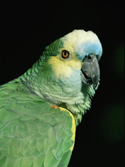 Blue Fronted Amazon Parrot Photographic Print Lynn M Stone
