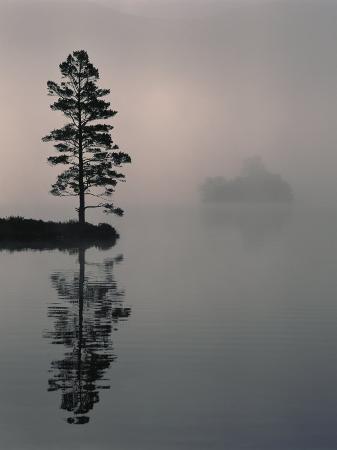 Lone Scots Pine, in Mist on Edge of Lake, Strathspey, Highland, Scotland, UK
