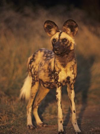 Arican Wild Dog Portrait (Lycaon Pictus) De Wildt, S. Africa