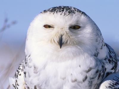 Snowy Owl, Female, Scotland, UK
