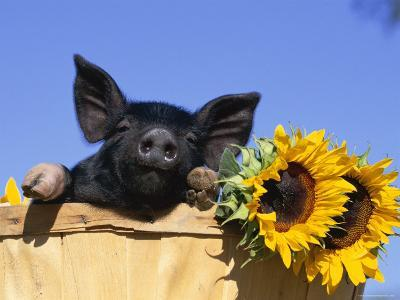 Piglet (Mixed Breed) in Barrel with Sunflower