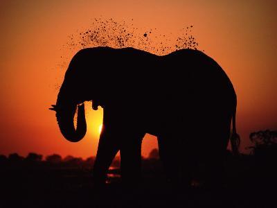 African Elephant Dusting Itself at Dusk, Chobe National Park, Botswana, Southern Africa