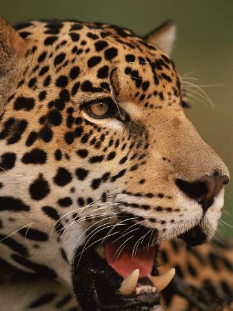 Close-Up of Young Male Jaguar Face,.Brazil
