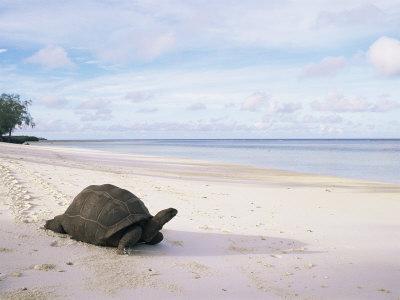 Aldabra Tortoise on Beach, Picard Island, Aldabra, Seychelles