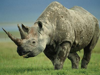 Black Rhino Portrait, Ngorongoro Nr, Tanzania