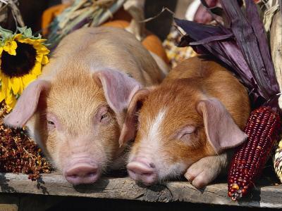 Domestic Piglets Sleeping, USA