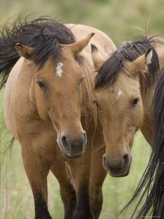 Mustang / Wild Horse Mare and Stallion Bothered by Flies in Summer, Montana, USA Pryor