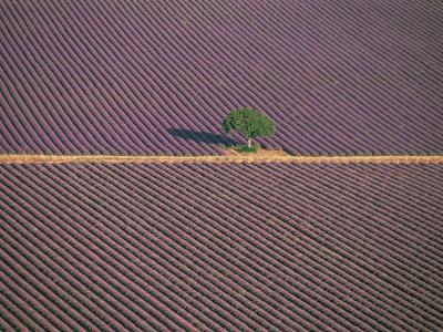 Aerial View of Tree in Lavender Field, Baronnies, Provence, France