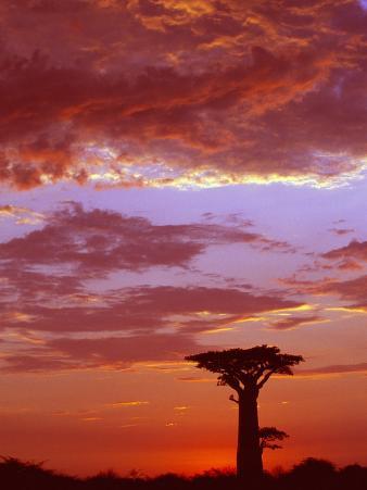 Baobab Silhouette at Sunset, Morondava, Madagascar