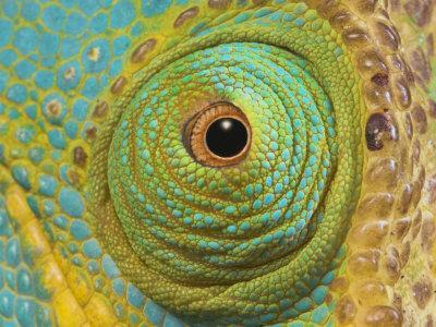Male Parson's Chameleon, Close up of Eye, Ranomafana National Park, South Eastern Madagascar