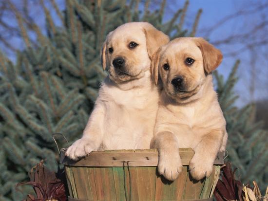 Golden Labrador Retriever Puppies Usa Photographic Print By Lynn M