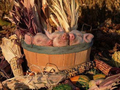 Domestic Piglets Sleeping in a Wooden Barrel, USA