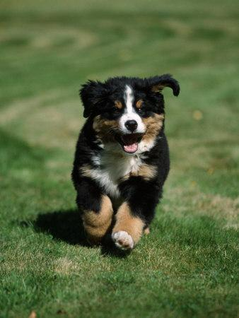 Bernese Mountain Puppy Running Photographic Print By Petra