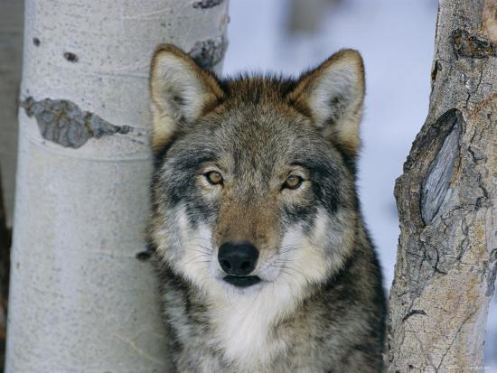 Grey Wolf Head Portrait Us Photographic Print By Lynn M