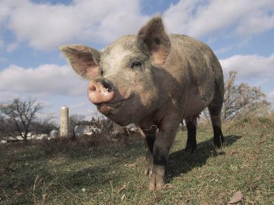 Domestic Pig (Mixed Breed) USA
