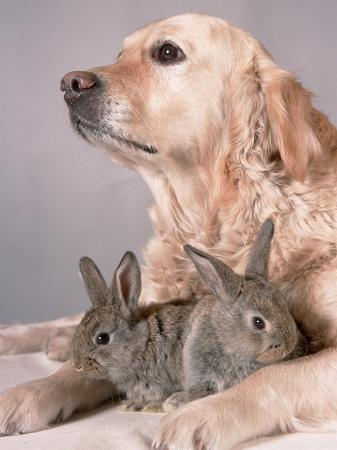 Golden Retriever, and Young Domestic Rabbits