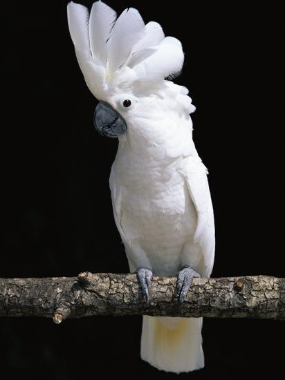 white or umbrella cockatoo photographic print by lynn m stone at