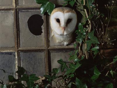 Barn Owl, Peering out of Broken Window, UK