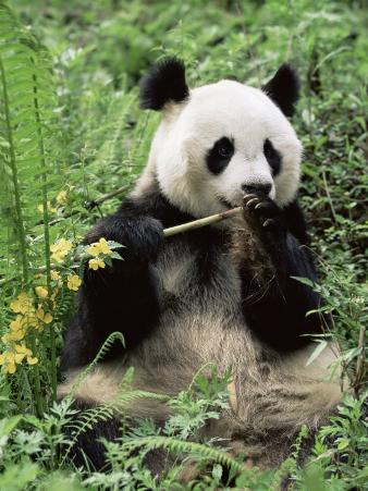 Giant Panda, Wolong Nr, Qionglai Mts, Sichuan, China