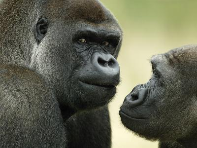 Two Western Lowland Gorillas Face to Face, UK