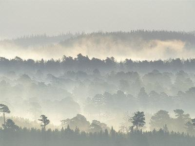 Ancient Pine Forest Emerging from Dawn Mist, Strathspey, Scotland, UK