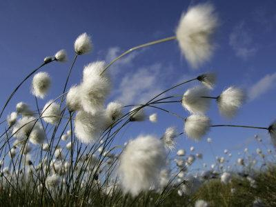 Cotton Grass, Blowing in Wind Against Blue Sky, Norway