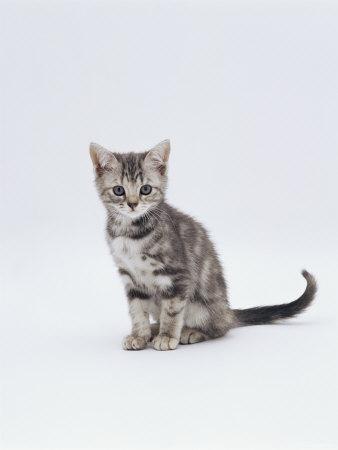 Domestic Cat (Felis Catus) Portrait of 10-Week-Old Kitten Sitting