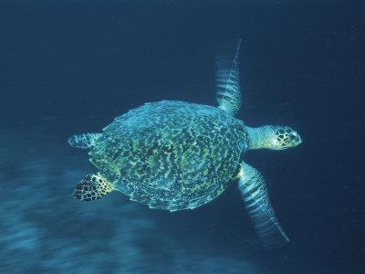 Hawksbill Turtle Swimming, Indo Pacific