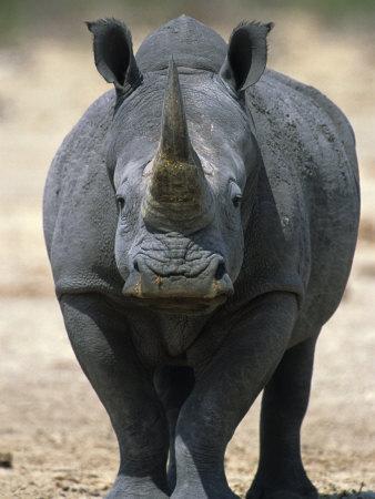 White Rhinoceros, Etosha National Park Namibia Southern Africa