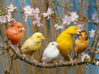 Five Canaries of Different Colours