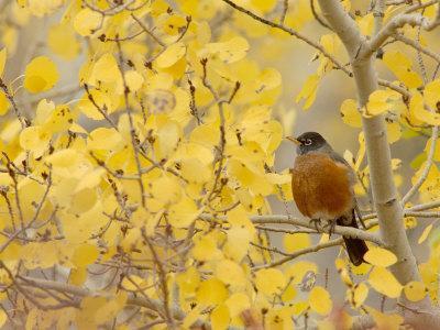 American Robin, Male in Aspen Tree, Grand Teton National Park, Wyoming, USA