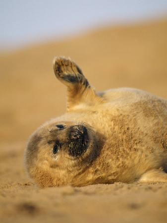 Grey Seal Pup 'Waving' Paw, England, UK