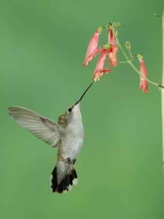 Black Chinned Hummingbird, Female Feeding on Penstemon Flower, Arizona, USA