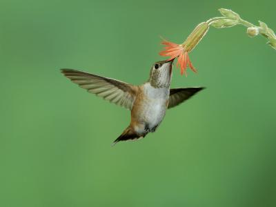 Rufous Hummingbird, Immature Feeding on Scarlet Gilia Paradise, Chiricahua Mountains, Arizona, USA