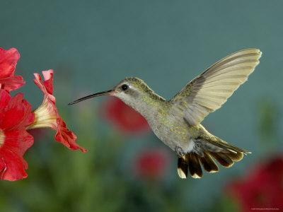 Broad Billed Hummingbird, Female Feeding on Petunia Flower, Arizona, USA