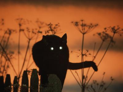 Black Domestic Cat Silhouetted Against Sunset Sky, Eyes Reflecting the Light, UK